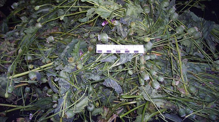 В Североуральске наркополицейские изъяли 1,3 килограмма маковой соломки