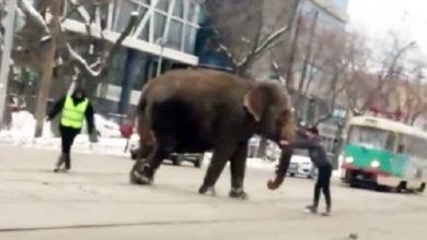 Photo of По улице слоны бродили… Побег из цирка