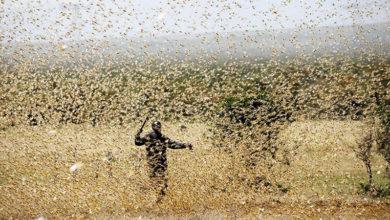 Россия выделит $10 млн на борьбу с саранчой в Африке